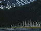 Trees Killed During the 1964 Earthquake Line the Alaskan Shore