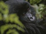 A Young Mountain Gorilla in Rwandas Virunga Mountains