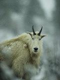 Portrait of a Male Rocky Mountain Goat