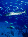 A Barracuda in Natural Habitat  Virgin Islands (UK)