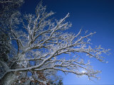 Fresh Snowfall Blankets Tree Branches Viewed against the Blue Sky