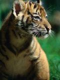 Sumatran Tiger Cub at Taronga Zoo  Sydney  Australia