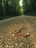 A Water Moccasin Snake Opens its Mouth on a Road in Mississippi