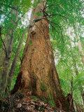 Eucalypt and Sassafras Trees Tarkine  Tasmania  Australia
