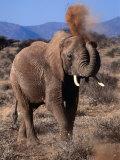 Elephant (Loxodonta Africana) Dust Bathing  Samburu National Reserve  Rift Valley  Kenya