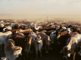 Brahman Cattle are Herded into a Pen on a Simpson Desert Cattle Station