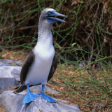 The Great Blue-Footed Booby (Sula Neboxuii)  Galapagos  Ecuador