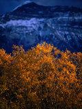 Treetop and Mountain at Waterton Lake Township Valley  Waterton Lakes National Park  Alberta