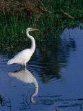 Great Egret (Ardea Alba)  Kakadu National Park  Australia