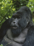 Portrait of a Silverback Mountain Gorilla  Gorilla Gorilla Beringei