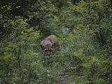 A Mountain Lion (Felis Concolor) Prowls Through the Brush