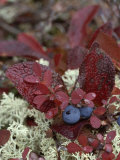 A Cluster of Blueberries Among Lichens on Tundra in Fall Colors