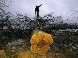 A Man Holding a Chainsaw Stands Atop a Felled Osage Orange Tree