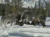 Pack of Gray Wolves Feed on the Carcass of a Deer