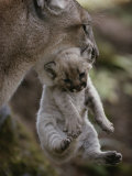 Mother Mountain Lion  Felis Concolor  Carries a Two-Week-Old Kitten