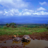 Giant Tortoises in Pond with Bay in Distance  Ecuador