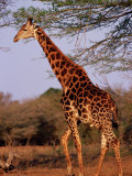 Giraffe  Phinda Game Reserve  South Africa