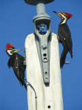Pair of Pileated Woodpeckers on Floridas Gulf Coast