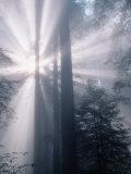 Sunrays Shining Through Redwood Trees