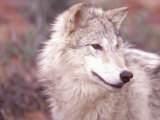 Close-up of Gray Wolf  Near Zion National Park  UT