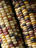 Close View of Rows of Multi-Colored Kernels in Autumns Indian Corn