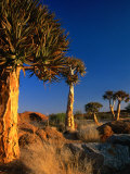 Quiver Trees  Namaqualand  South Africa