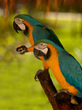 Two Blue and Gold Macaws