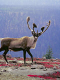Woodland Caribou on a Ridge During Fall Migration  Quebec  Canada