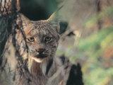 Lynx in Denali National Park  Alaska  USA