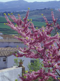 Flowering Cherry Tree and Whitewashed Buildings  Ronda  Spain