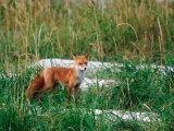 Red Fox  Alaska Peninsula  Alaska  USA