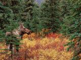 Female Moose in Denali National Park  Alaska  USA