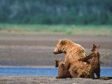 Brown Bear Sow with Cubs  Alaska Peninsula  Katmai National Park  Alaska  USA