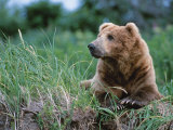 Male Brown Bear  Alaska Peninsula  Katmai National Park  Alaska  USA