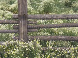Wild Chamomile Around Log Fence  Colorado  USA