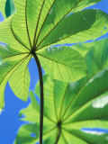 Backlit Leaves  Barro Colorado Island  Panama