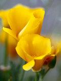 Poppies  Antelope Valley  California  USA