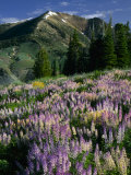 Lupine and Subalpine Firs  Humboldt National Forest  Jarbridge Wilderness and Mountains  Nevada
