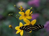 Zebra Longwing Butterfly  Woodland Park Zoo  Washington  USA