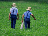 Two Amish Boys Walk with Their Golf Clubs Through a Field of Soy Beans