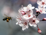 A Bee Hovers in Front of a Blossom of a Plum Tree