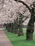 Cherry Blossoms at the University of Washington  Seattle  Washington  USA