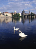 Swans  River Vltava  Prague  Czech Republic