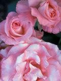 Pink Rose Trio at Bellevue Botanical Garden  Washington  USA