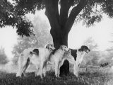 Three Mythe Borzois Belonging to Miss EM Robinson Standing Under a Tree