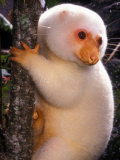 A Cuscus Clinging to a Tree Trunk Papier Photo