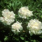 "Paeonia ""Festiva Maxima"" (Paeony) Close-up of Double Flowers"