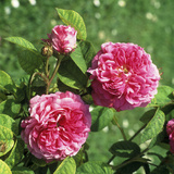 """Rosa """"Louis Philippe"""" (China Rose)  Close-up of Flowering"""