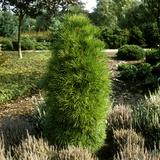 Sciadopitys Verticillata (Japanese Umbrella Pine) with Heather