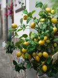 Lemons  Positano  Amalfi Coast  Campania  Italy